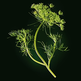 Caraway active ingredient | René Furterer