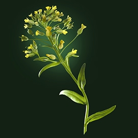 Camelina active ingredient | René Furterer